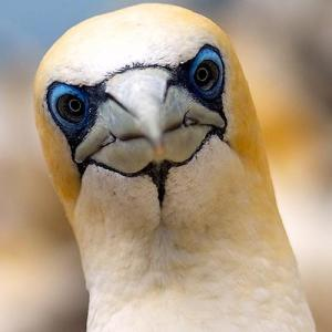 close up gannet